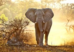 Afrikada Fil Hayvanlar Kanvas Tablo