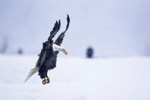 Alaska Kartalı Hayvanlar Kanvas Tablo