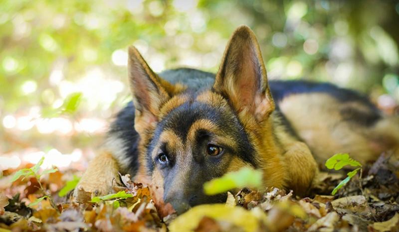 Alman Kurdu ve Doğa Hayvanlar Kanvas Tablo