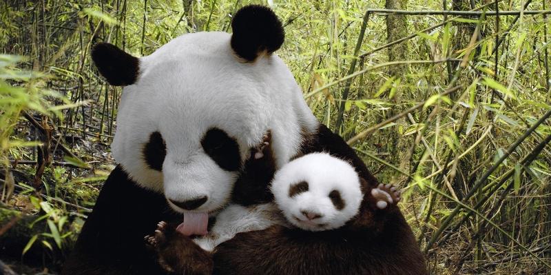 Anne ve Yavru Panda, Hayvanlar Kanvas Tablo