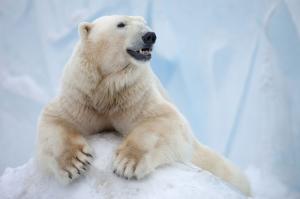 Antartika Kutup Ayısı Hayvanlar Kanvas Tablo