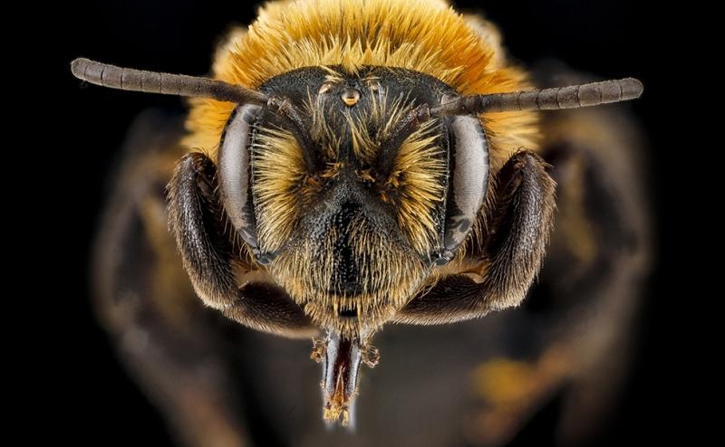 Arı Yakın Çekim Hayvanlar Kanvas Tablo