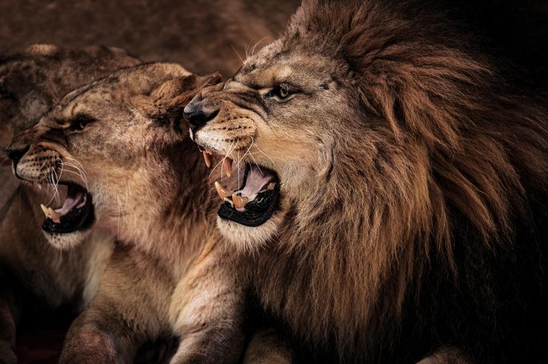 Arslan ve Ailesi-3, Arslan Kral Kanvas Tablo