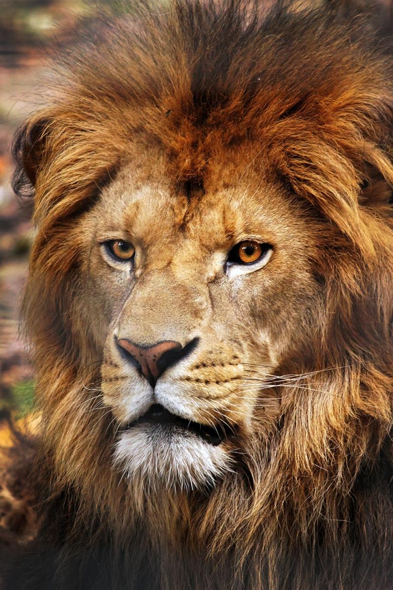 Asil Aslan Hayvanlar Kanvas Tablo