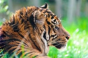Asil Kaplan Hayvanlar Kanvas Tablo