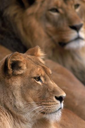 Aslanlar 1 Aslan Sürüsü Hayvanlar Kanvas Tablo