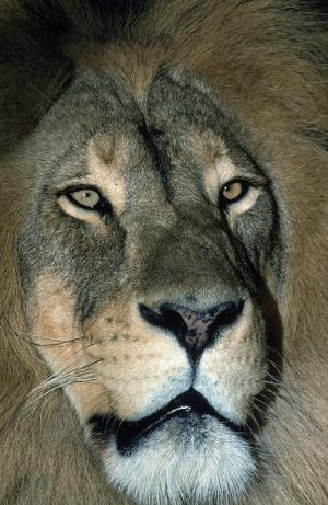 Aslanlar 2 Aslan Gece Avı Hayvanlar Kanvas Tablo