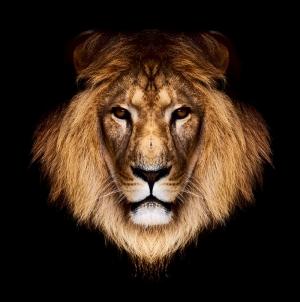 Aslanlar 5 Aslan Kral Erkek Aslan Hayvanlar Kanvas Tablo