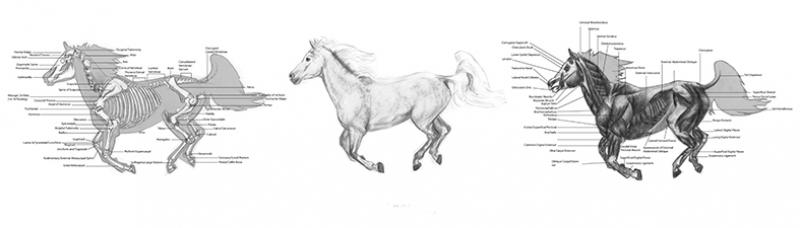 At Anatomi Çizimi Hayvanlar Kanvas Tablo