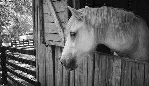 At Siyah Beyaz Fotoğraf Kanvas Tablo