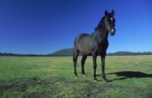 Atlar 7 Siyah At Hayvanlar Kanvas Tablo