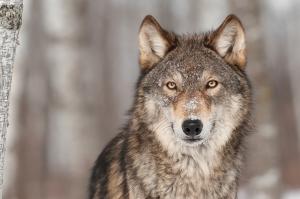 Avcı Kurt Hayvanlar Kanvas Tablo