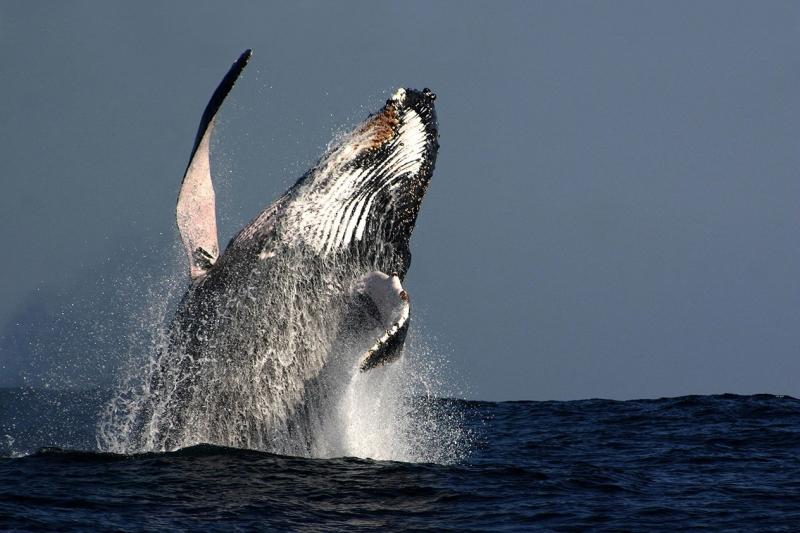 Balinalar Hayvanlar Kanvas Tablo