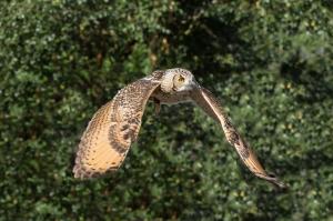 Baykuş Uçuşu Hayvanlar Kanvas Tablo