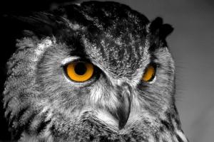 Baykuşlar 2 Gri Baykuş Hayvanlar Kanvas Tablo
