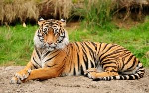 Bengal Kaplanı Hayvanlar Kanvas Tablo
