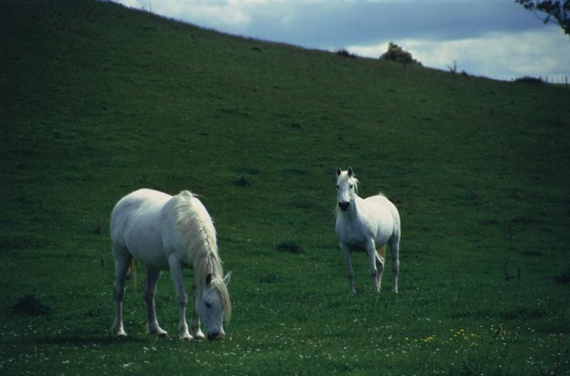 Beyaz At 10 Şaha Kalkmış Koşan Atlar Hayvanlar Kanvas Tablo
