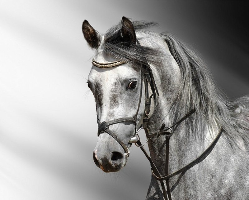 Beyaz At 2 Hayvanlar Kanvas Tablo