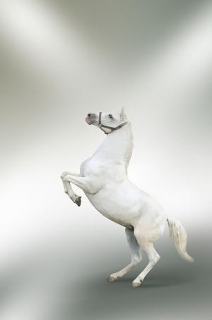Beyaz At 5 Şaha Kalkmış Koşan Atlar Hayvanlar Kanvas Tablo