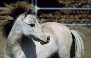 Beyaz At 6 Şaha Kalkmış Koşan Atlar Hayvanlar Kanvas Tablo