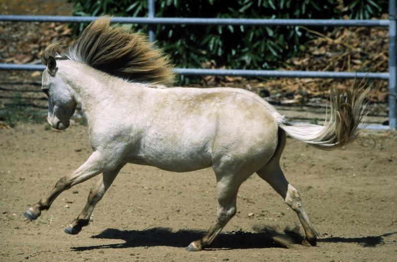 Beyaz At 7 Şaha Kalkmış Koşan Atlar Hayvanlar Kanvas Tablo