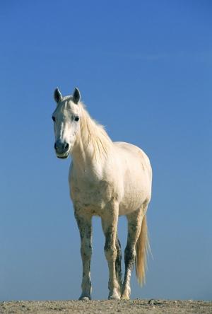 Beyaz At 8 Şaha Kalkmış Koşan Atlar Hayvanlar Kanvas Tablo