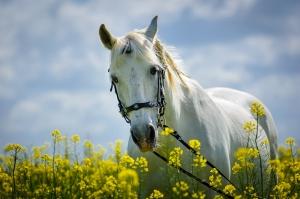 Beyaz At ve Çiçekler Hayvanlar Kanvas Tablo