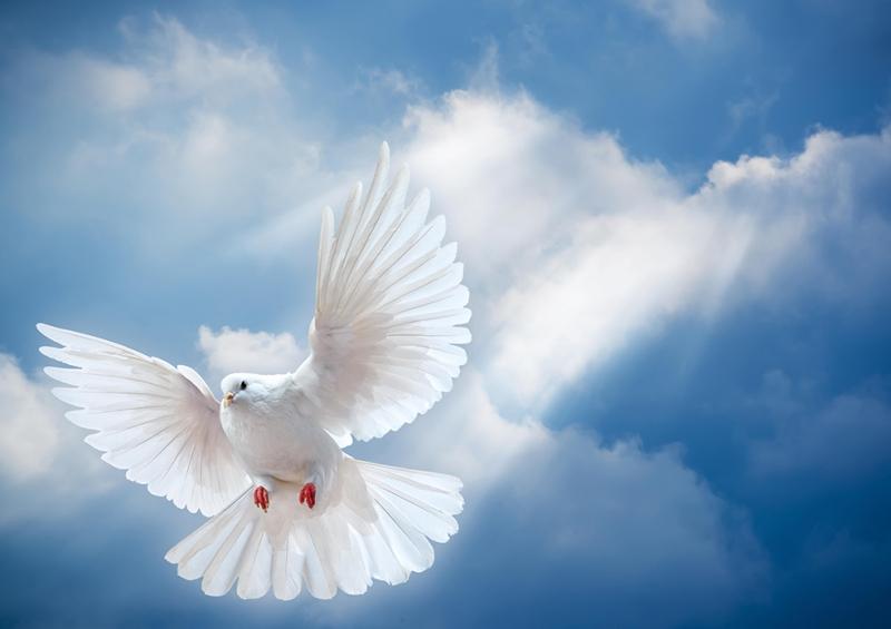 Beyaz Güvercin Hayvanlar Kanvas Tablo