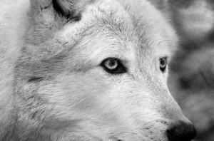 Beyaz Kurdun Bakışı Hayvanlar Kanvas Tablo