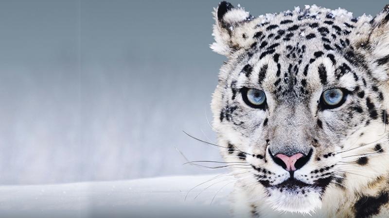Beyaz Leopar Hayvanlar Kanvas Tablo