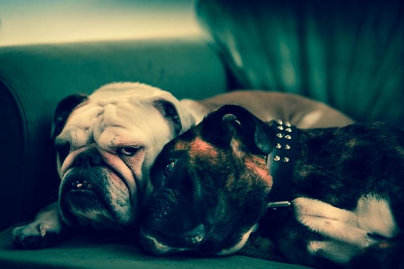 British Bulldog Sevimli Köpekler Kanvas Tablo