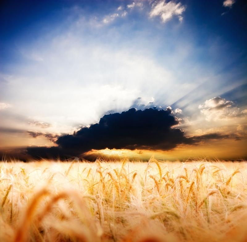 Buğday Başak Tarlası 2 Doğa Manzaraları Kanvas Tablo