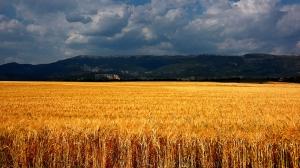 Buğday Tarlası 2 Doğa Manzaraları Kanvas Tablo