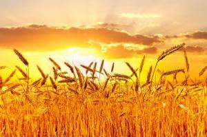 Buğday Tarlası Başaklar-1 Manzara Kanvas Tablo