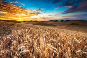Buğday Tarlası Başaklar-2 Manzara Kanvas Tablo