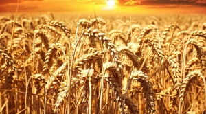 Buğday Tarlası Doğa Manzaraları Kanvas Tablo