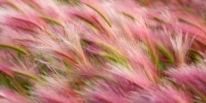 Buğday Tarlası HD Doğa Manzaraları Kanvas Tablo