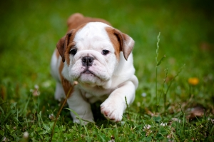 Bulldog Puppy Hayvanlar Kanvas Tablo