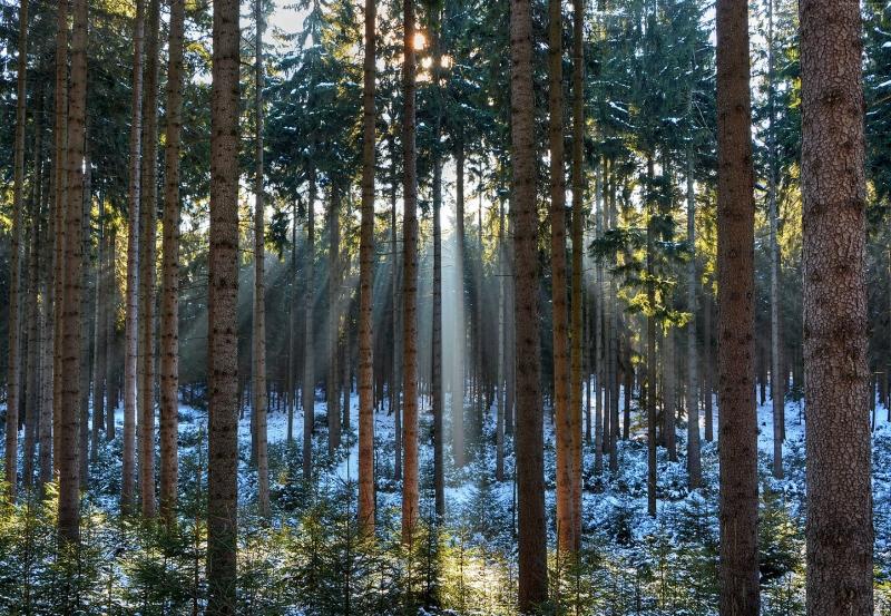 Çam Ağaçları Orman Doğa Manzaraları Kanvas Tablo
