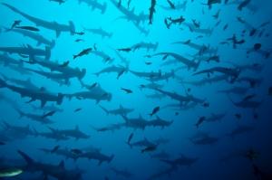Çekiç Balıkları Sürüsü Hayvanlar Kanvas Tablo
