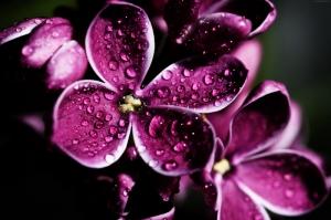 Çiçekler-4, Leylak, Mor Çiçekler, HD Doğa Manzaraları Floral Canvas Tablo