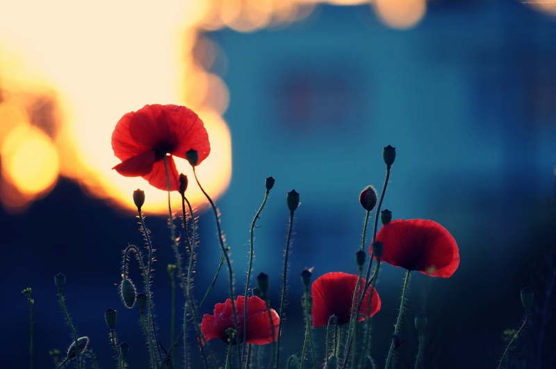 Çiçekler-5, Gelincikler, Kırmızı Çiçekler, HD Doğa Manzaraları Floral Canvas Tablo