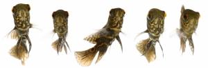 Ciklit Balıkları 1 Hayvanlar Kanvas Tablo