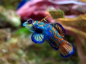 Ciklit Balıkları 3 Hayvanlar Kanvas Tablo