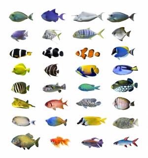 Ciklit Balıkları 44 Hayvanlar Kanvas Tablo