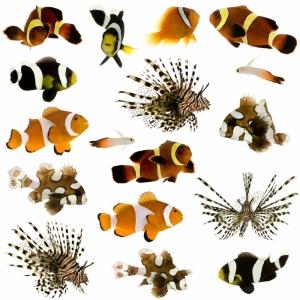Ciklit Balıkları 5 Hayvanlar Kanvas Tablo