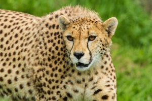 Çita Hayvanlar-1 Kanvas Tablo