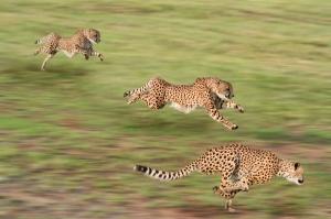 Çita Hayvanlar-3 Kanvas Tablo