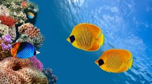 Cocos Adaları Renkli Balıkları Costa Rica Hayvanlar Kanvas Tablo