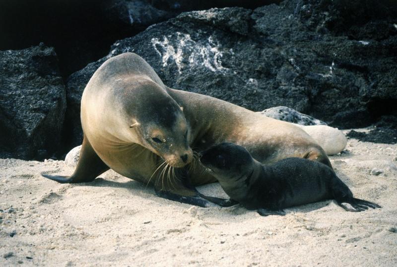 Deniz Aslanı 2 Hayvanlar Kanvas Tablo